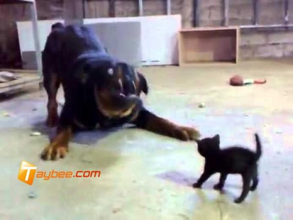 قطة صغيره شجاعة تواجه كلب مفترس