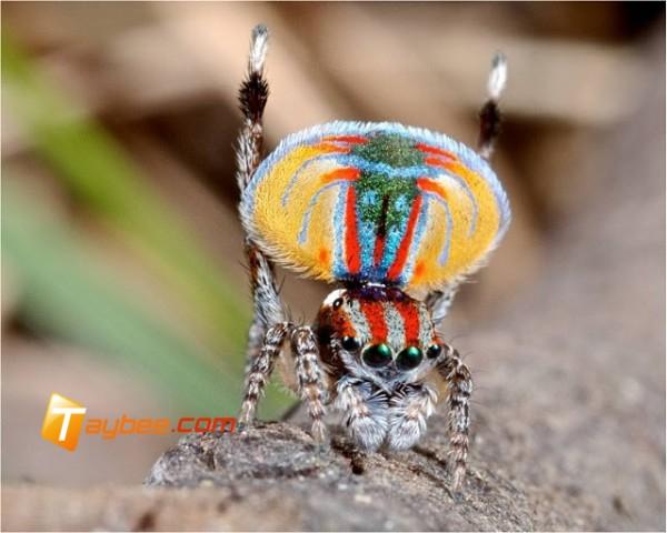 """عناكب الطاووس"""" أجمل عناكب العالم"""